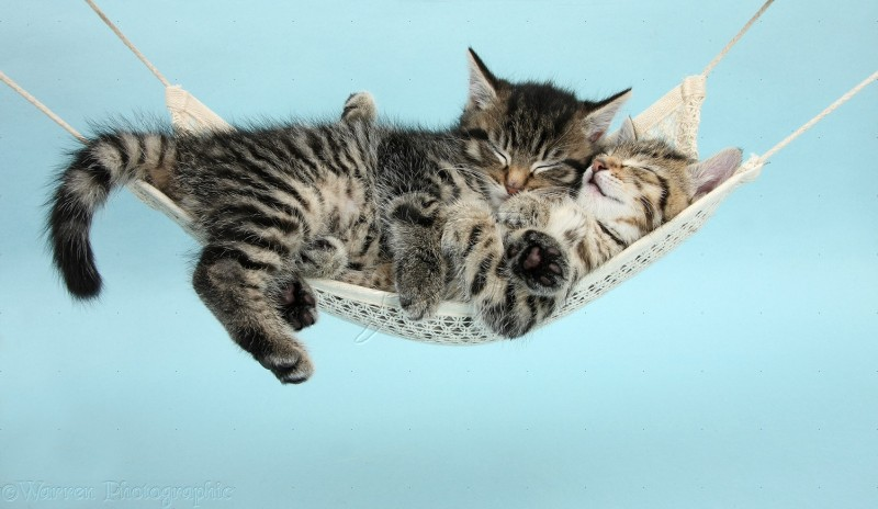 Two Cute Kittens In A Hammock