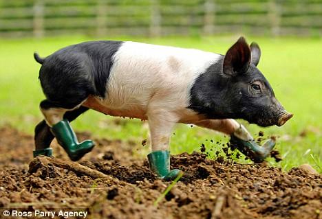Follow The Pig